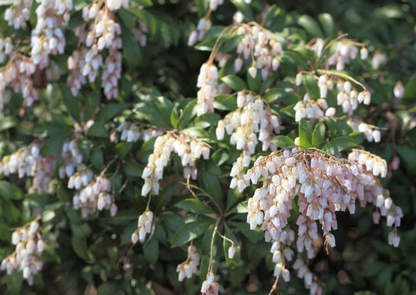 Las flores de la Pieris japonica son blancas