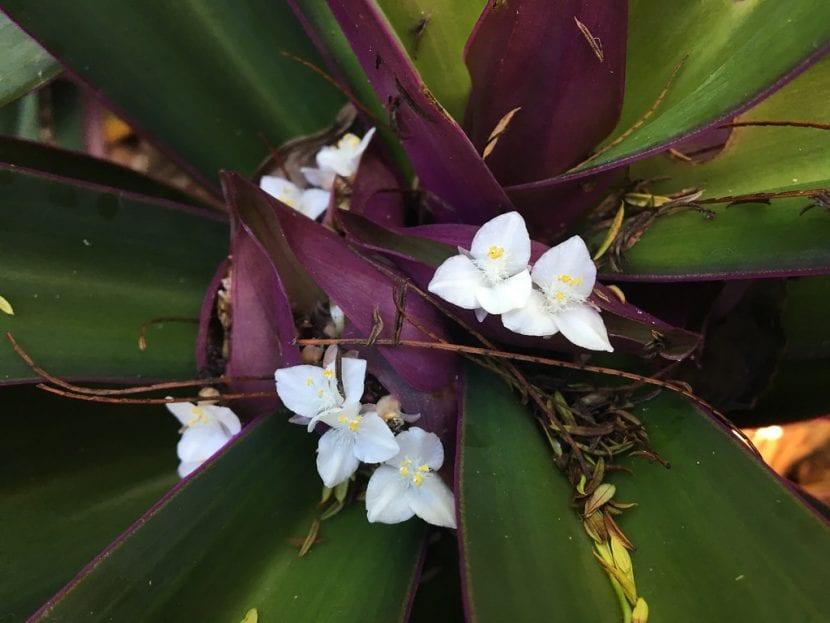 Vista de la Tradescantia spathacea en flor