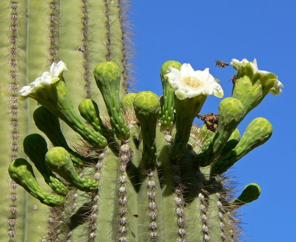 Las flores del saguaro son blancas