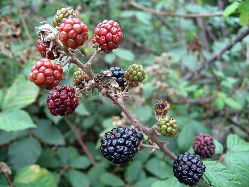 fruto de la zarzamora
