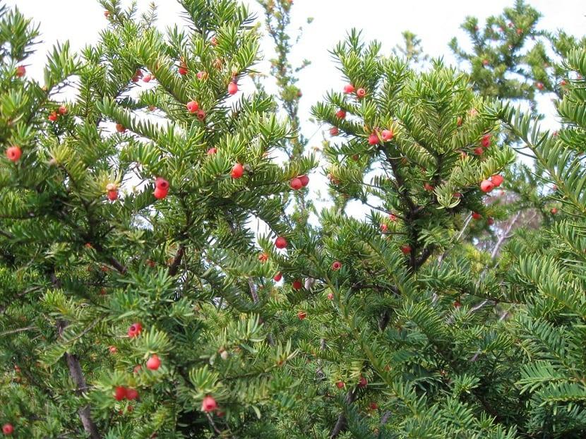 frutos de color rojo en ramas del Taxus brevifolia