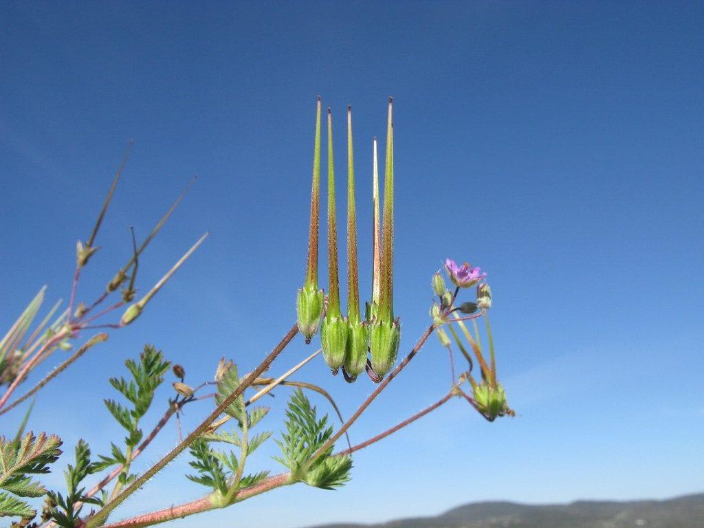 Los frutos del Erodium cicutarium son alargados