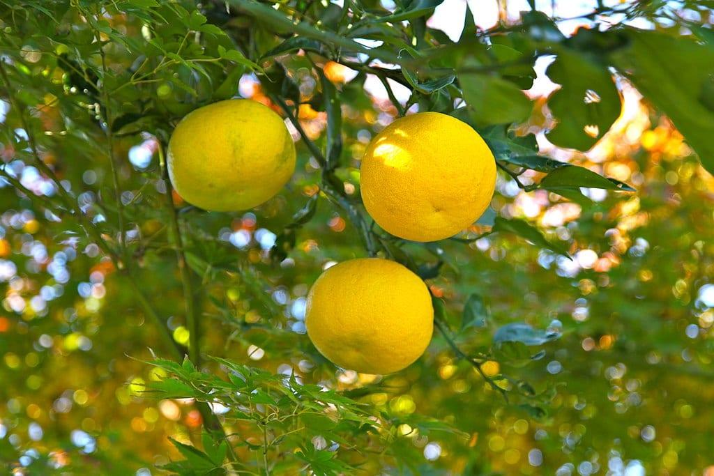 Los frutos del yuzu parecen limones