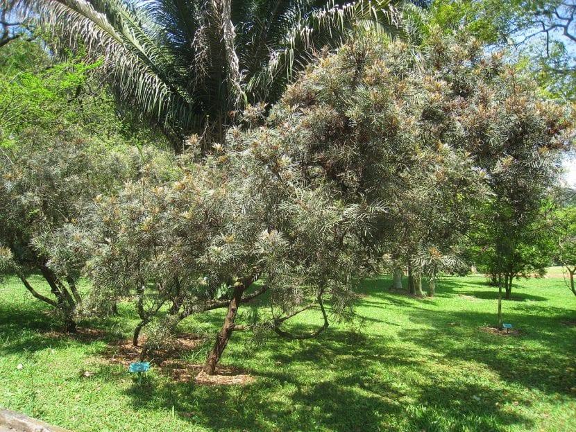 La Grevillea banksii es un árbol ornamental