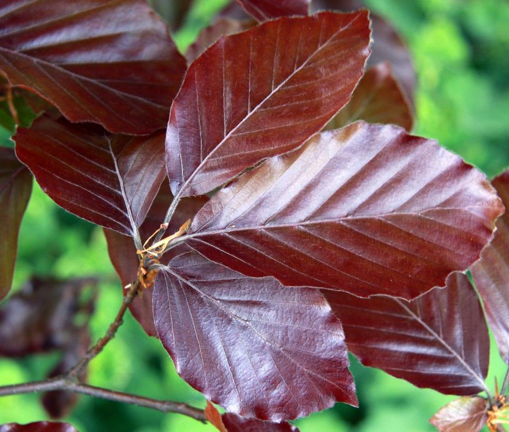 El haya purpurea enana es un arbusto
