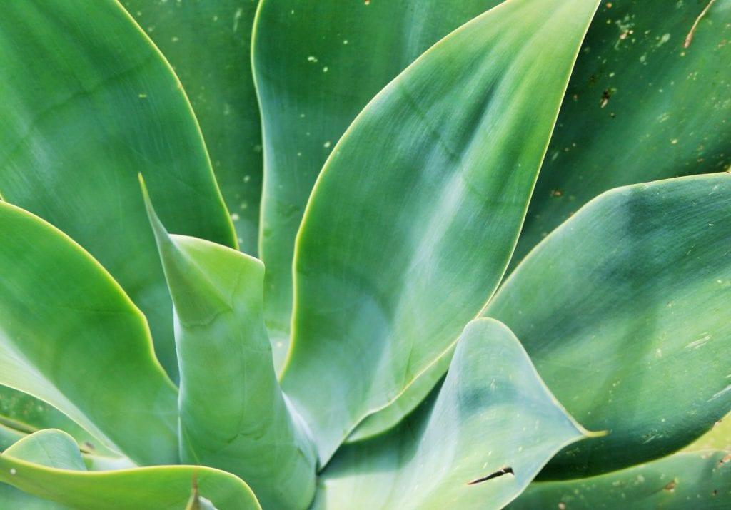 Las hojas del Agave attenuata son verde-azuladas