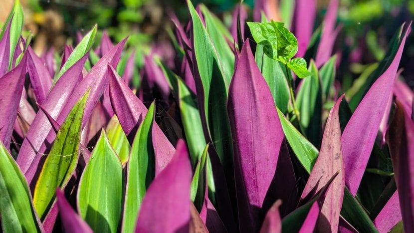 La Tradescantia spathacea es una planta decorativa