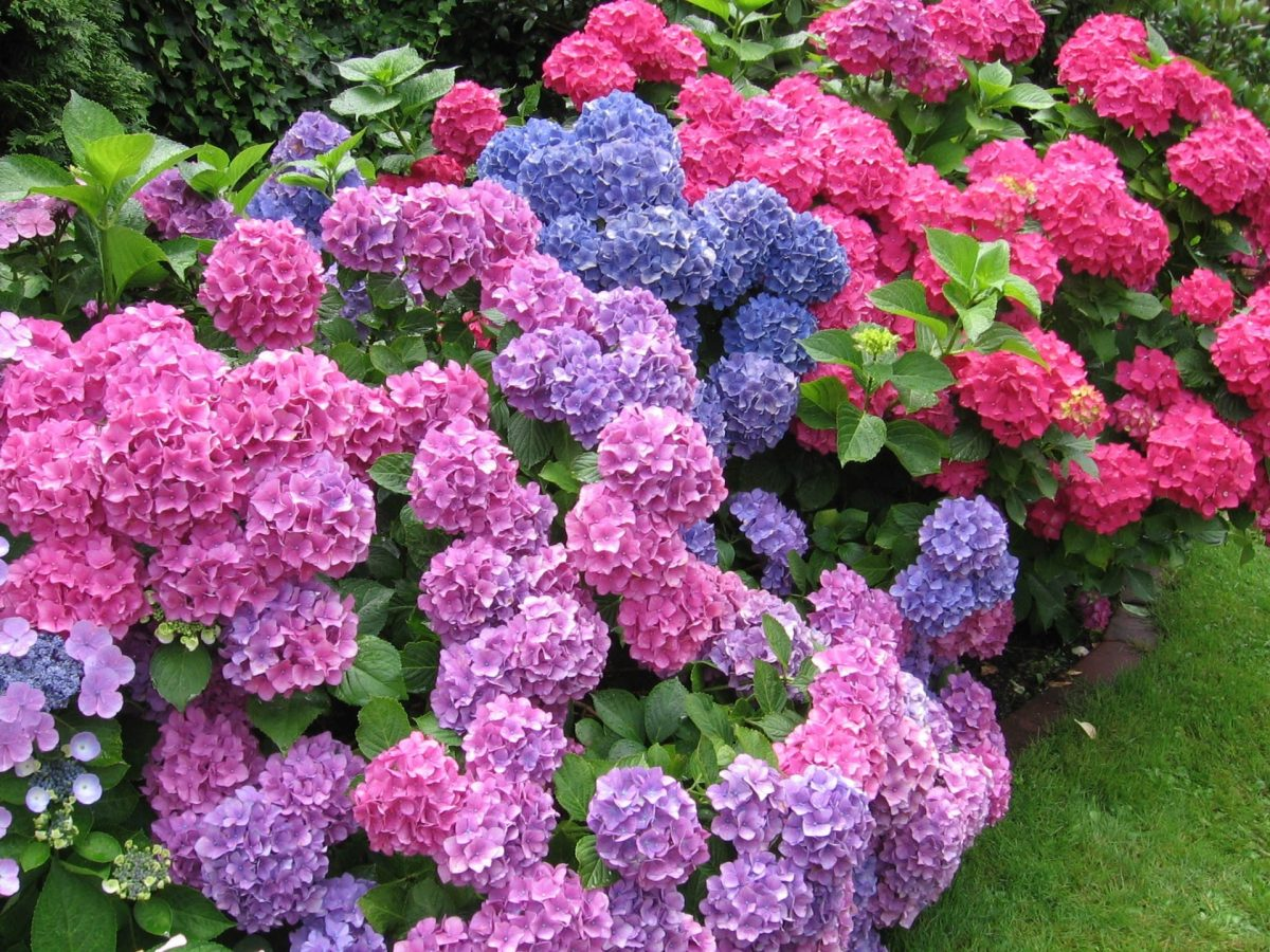Las hortensias florecen durante el año y son de media sombra