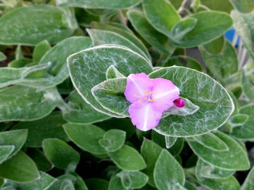 imagen ampliada de hojas y flor de la planta Tradescantia sillamontana