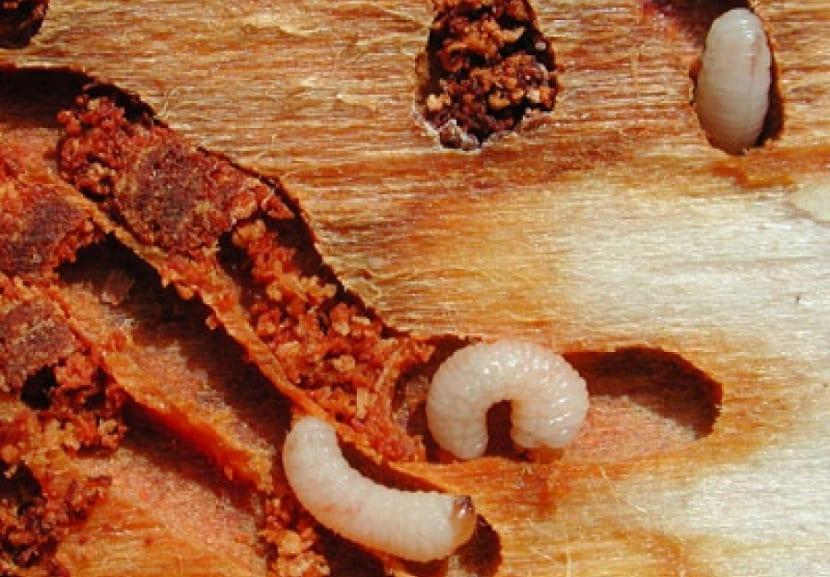 larvas de barrenillo