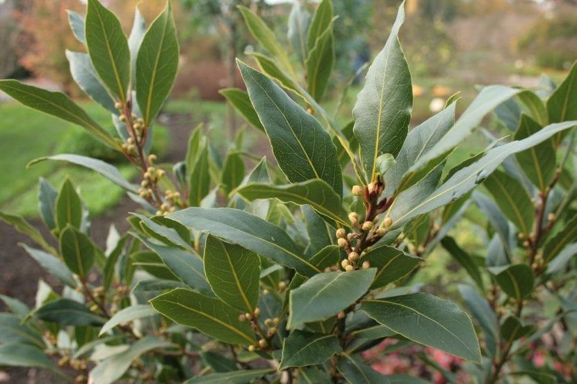 El laurel es un árbol muy resistente a la sequía