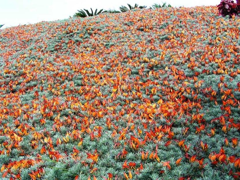 Lotus berthelotii en campo extenso