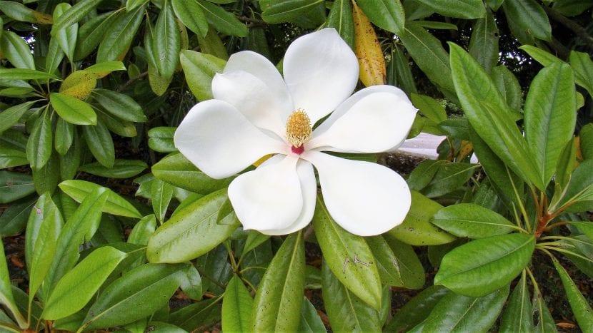 La Magnolia grandiflora es un árbol perenne