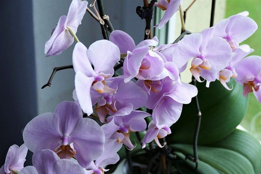Las orquídeas son plantas originarias de las zonas intertropicales