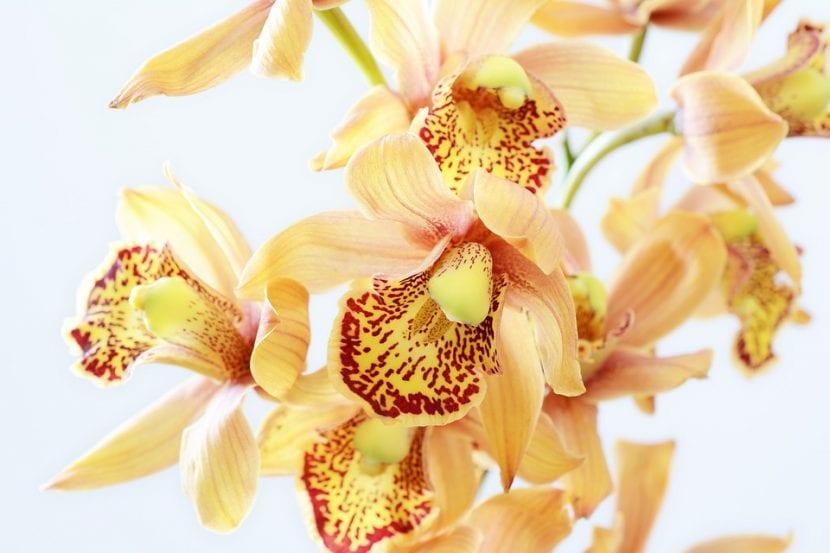 Las orquídeas son plantas tropicales