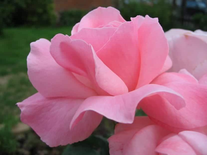 petalos de una rosa de color rosa