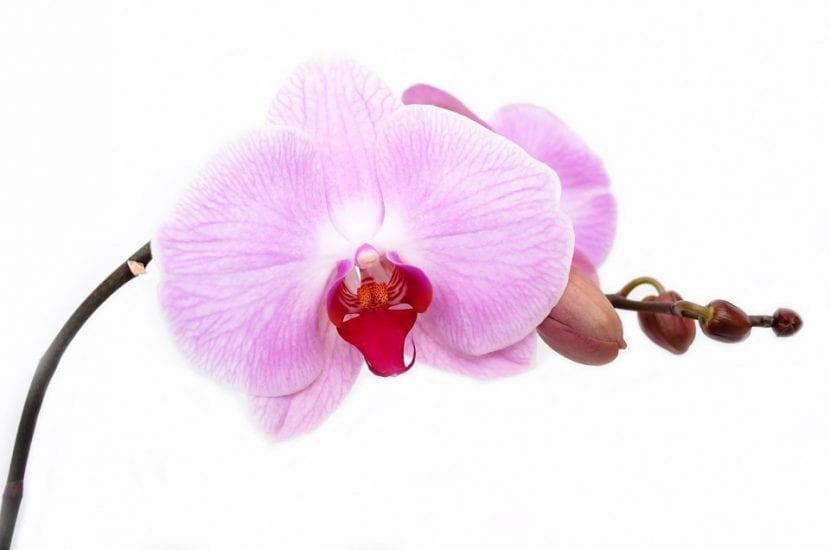 Las orquídeas florecen en primavera