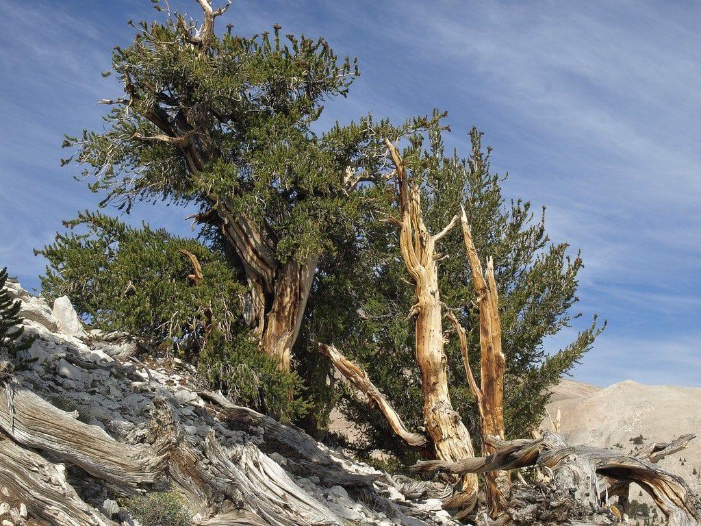El pino longevo puede vivir más de 5000 años