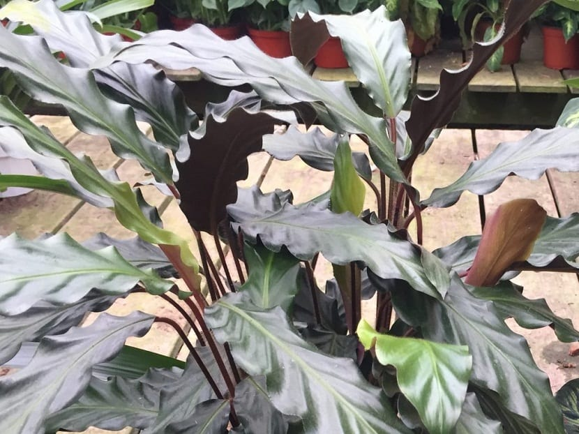 planta con hojas de color verde oscura y muy largas