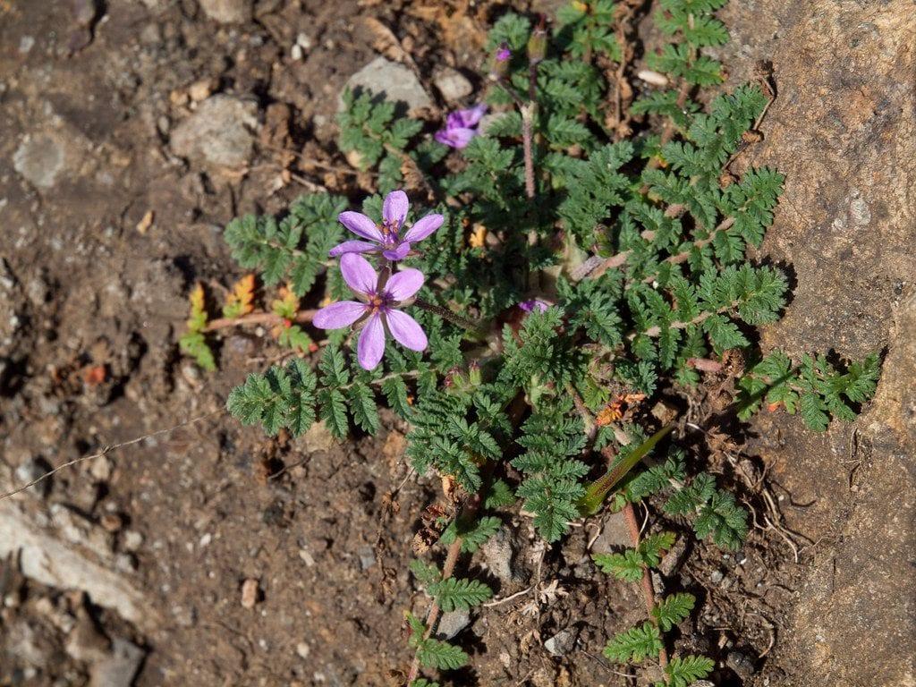 El Erodium cicutarium es medicinal