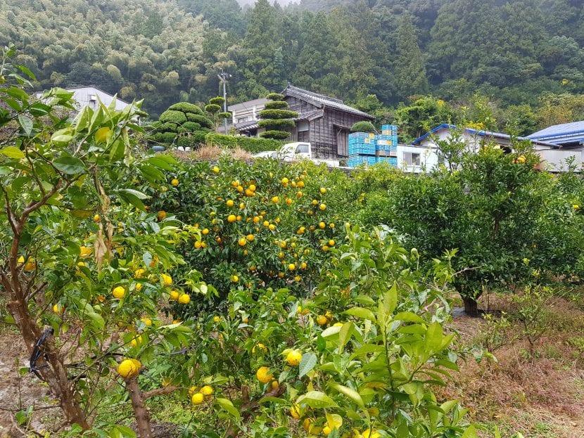 El yuzu es un arbusto perennifolio