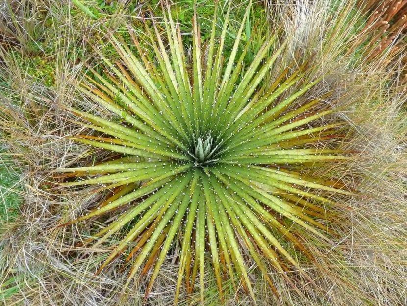 Vista de la Puya en hábitat