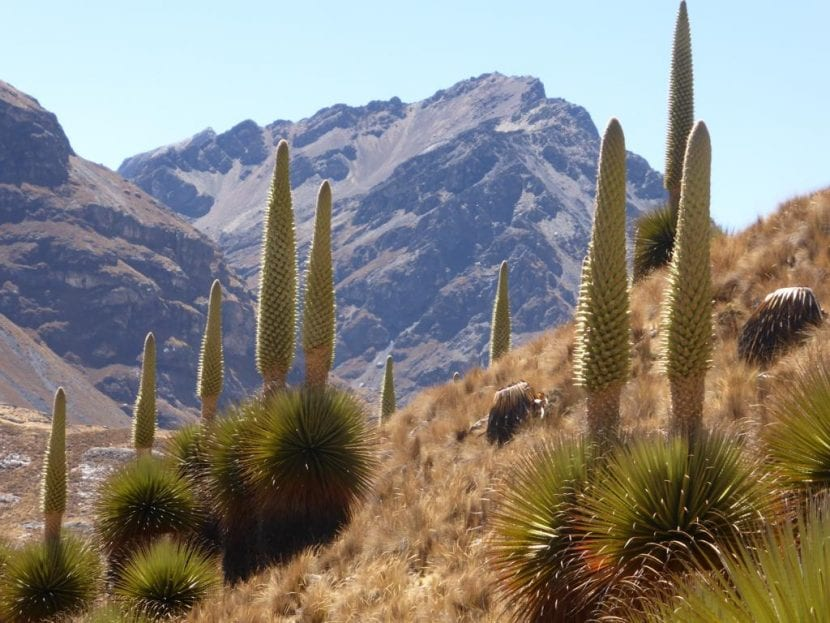 Puya raimondii en hábitat