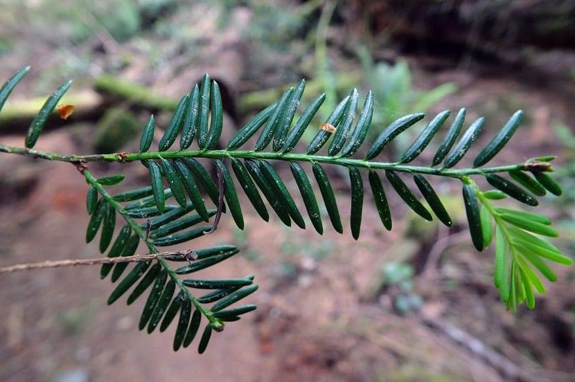 rama fina con hojas pequenas y verdosas