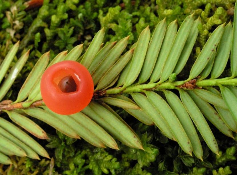 rama y fruto del Taxus brevifolia