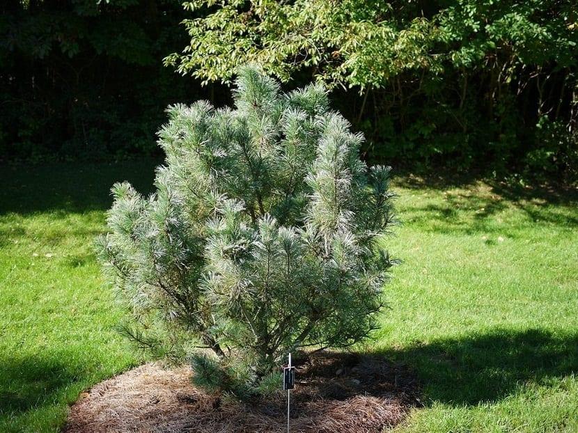 ramas completamente verdes del pino enano