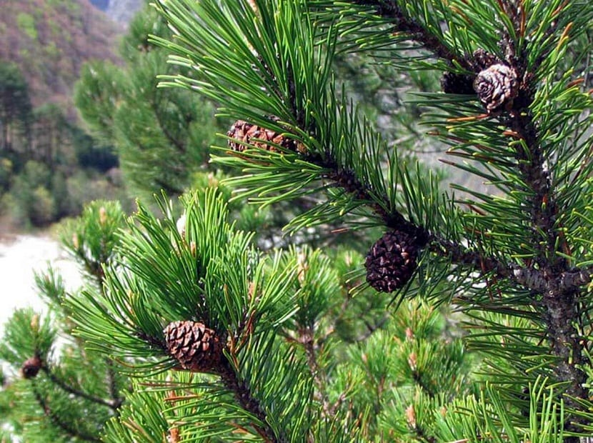arbusto con piñones llamado Pinus mugo