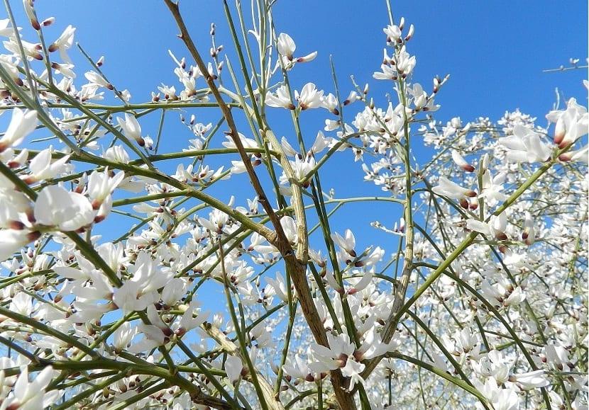 ramas de un arbusto llenas de pequenas flores blancas
