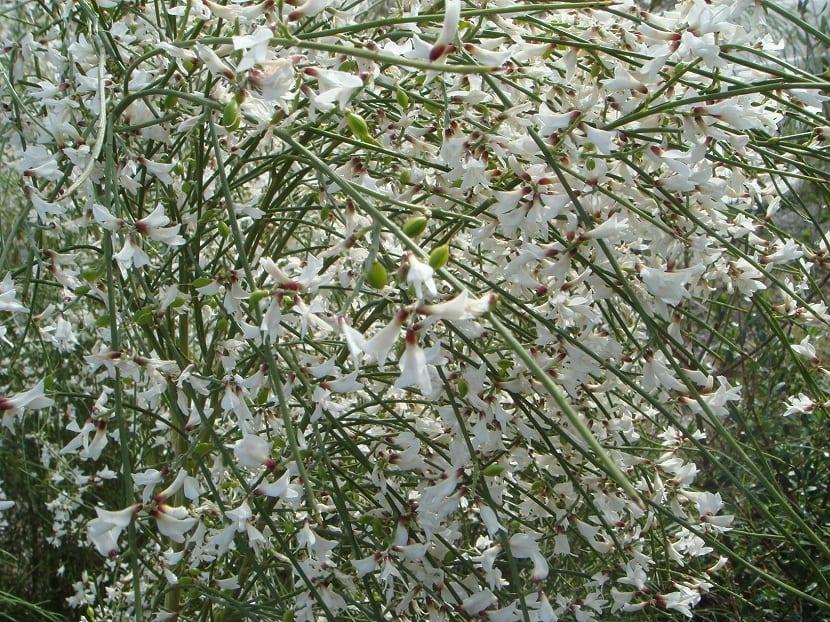 ramas de un arbusto llena de pequenas flores blancas