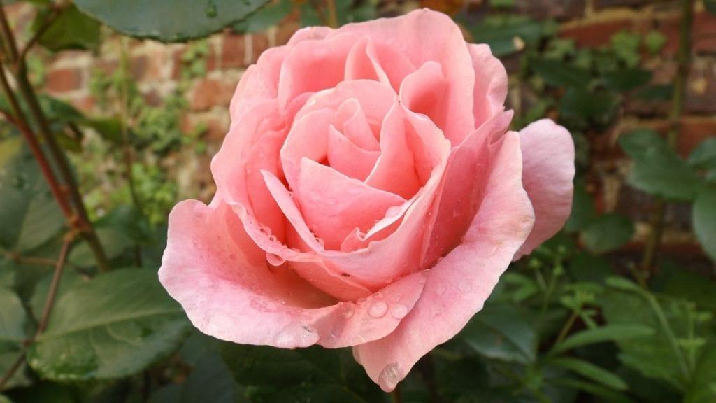 Los rosales son arbustos muy populares en jardines