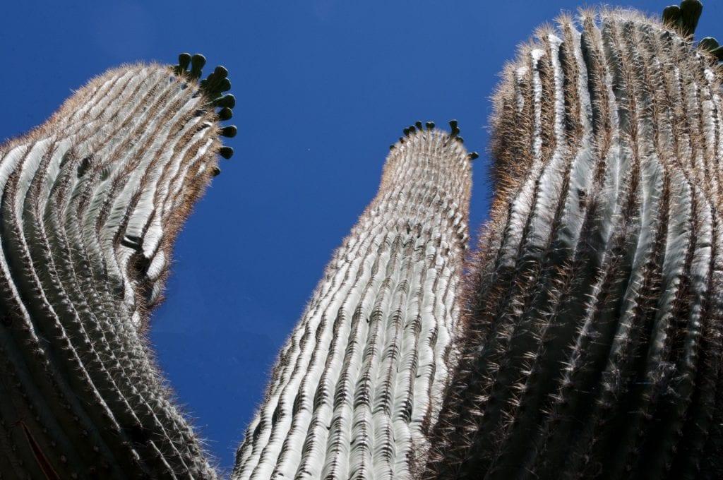 El cactus saguaro es el más grande