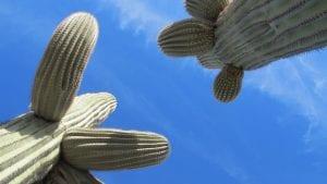 El saguaro es un cactus grande