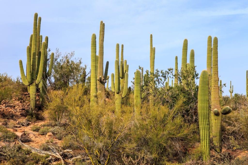 Vista del saguaro en hábitat