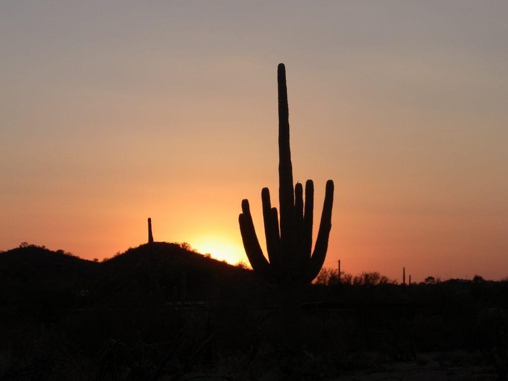 Vista del cactus saguaro en su hábitat
