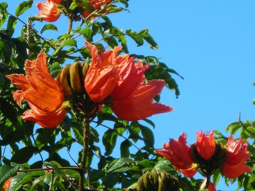 La Spathodea campanulata es un árbol de flores rojas