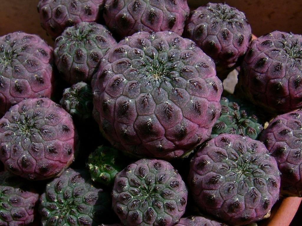 La Sulcorebutia rauschii violacidermis es un cactus violeta
