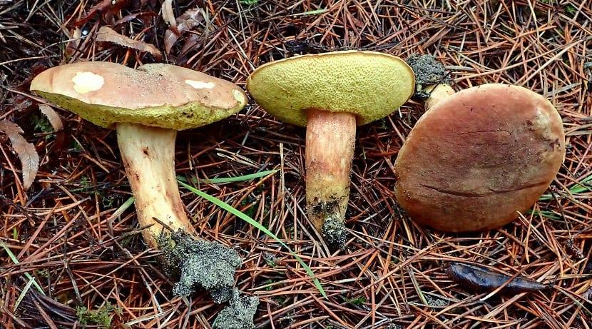 tres hongos llamados Xerocomus ferrugineus