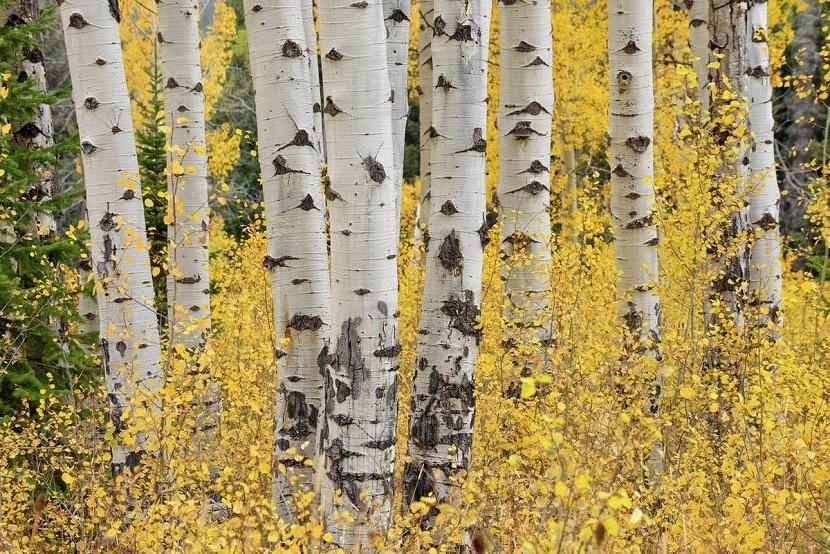 troncos del arbol llamado Populus tremuloides, un tipo de alamo