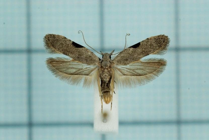 Anarsia lineatella con las alas abiertas