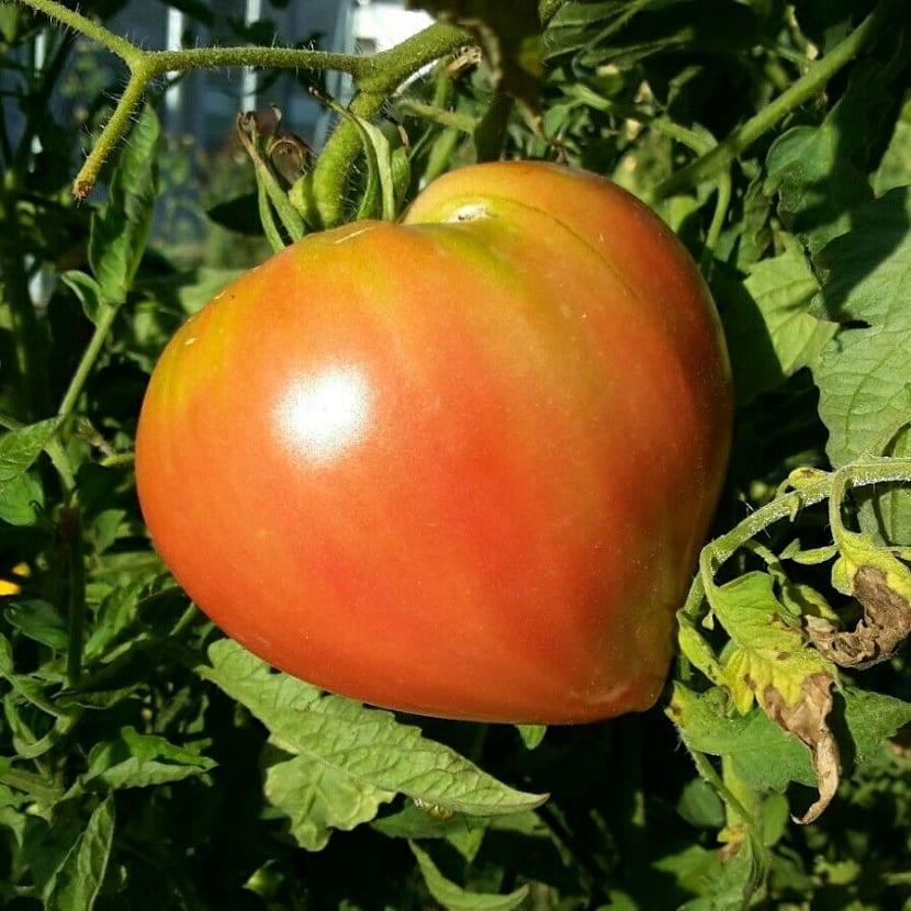 Crecimiento del tomate