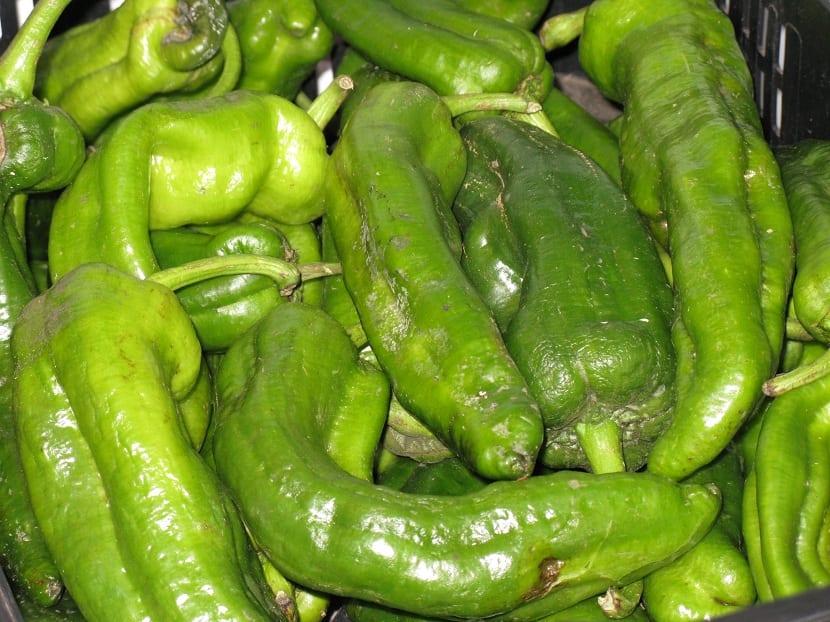 Cultivo del pimiento italiano