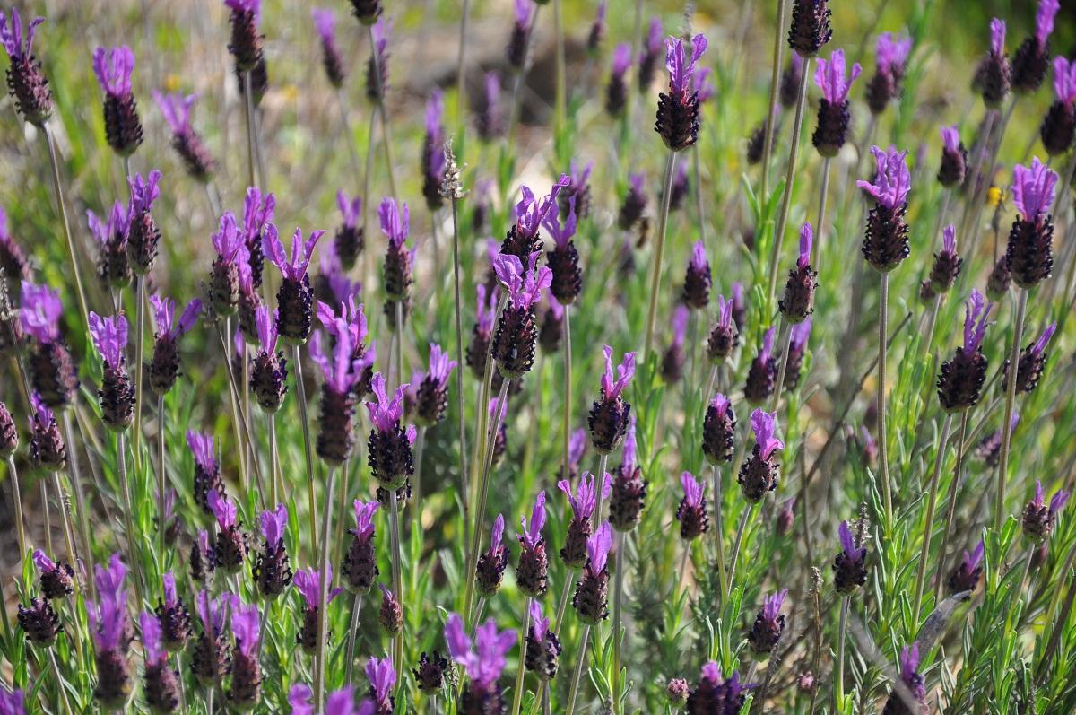 Lavandula pedunculata en flor