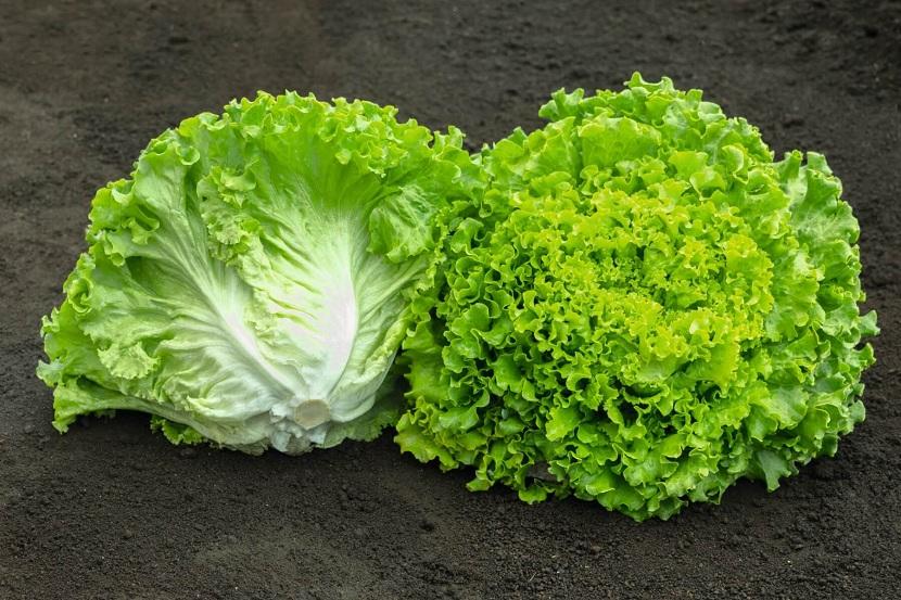 Características y propiedades de la lechuga batavia (Lactuca sativa)