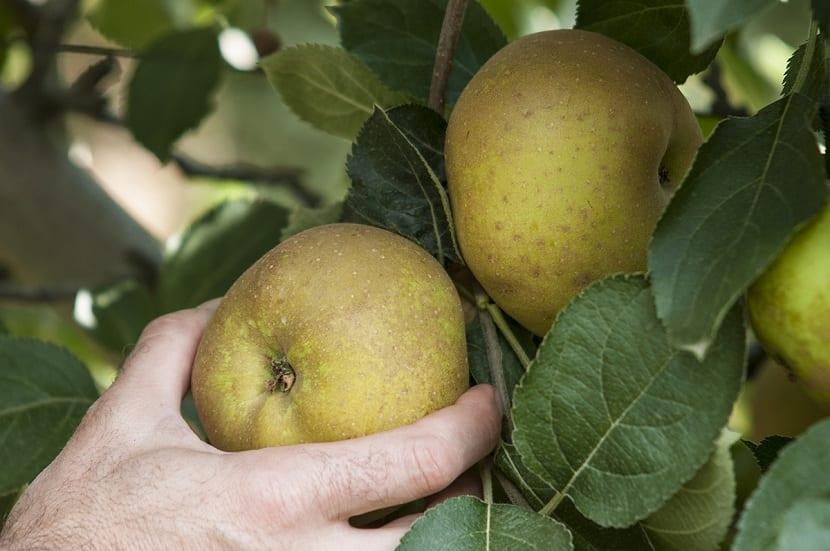 Manzana reineta en el árbol