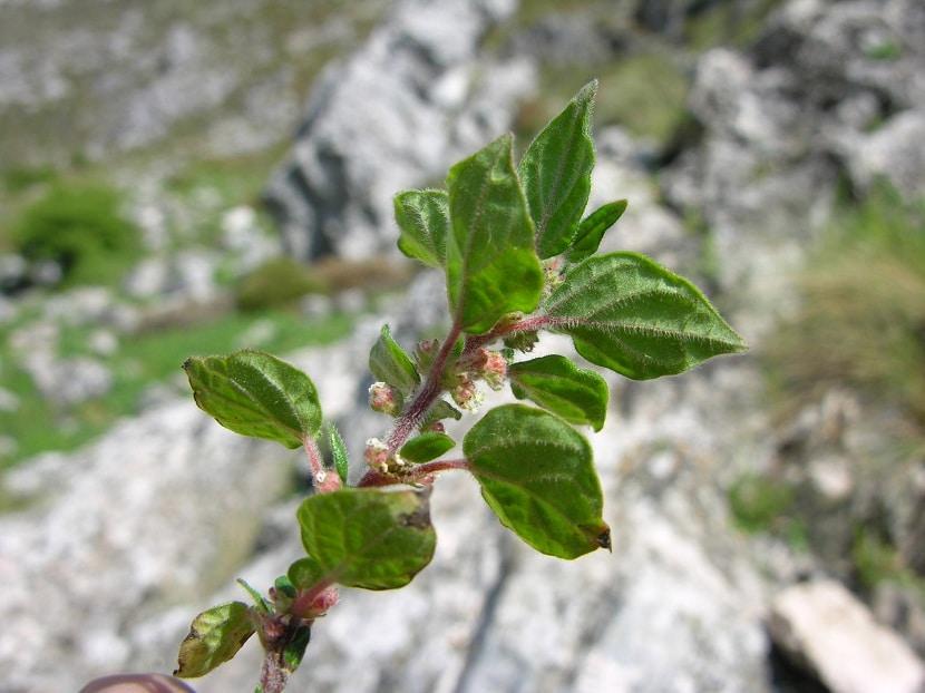 Planta que produce alergias