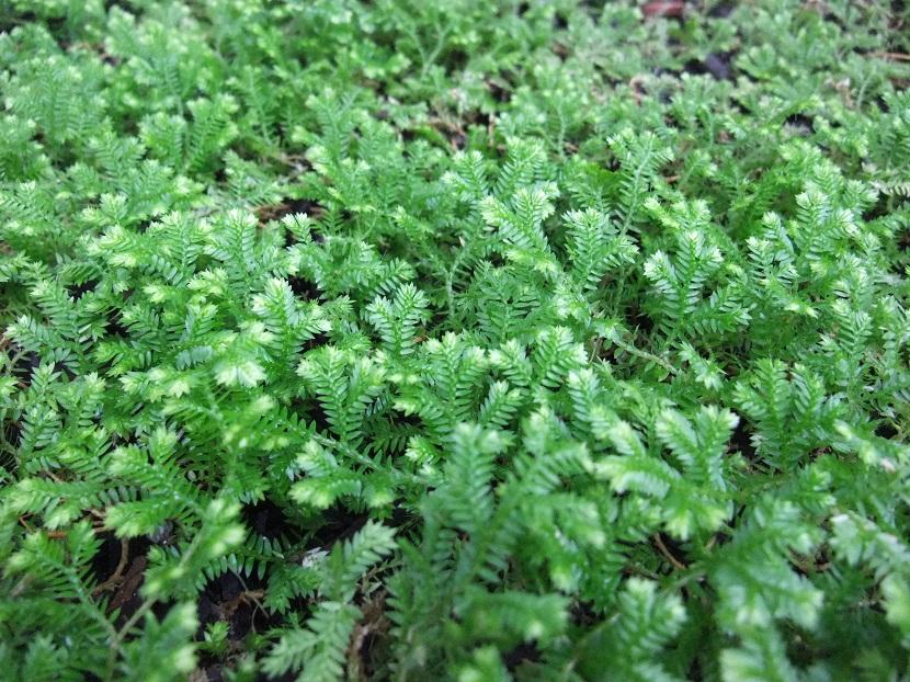 Plantas del género Selaginella
